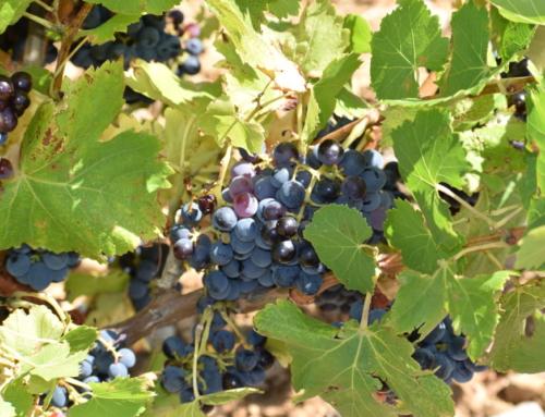 La monodiète de raisin, …